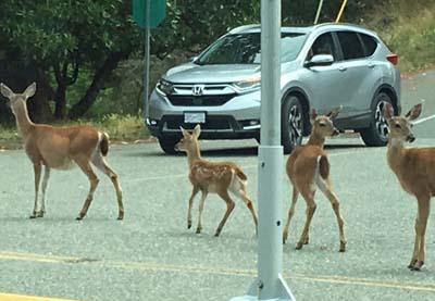 Deer causing traffic jam