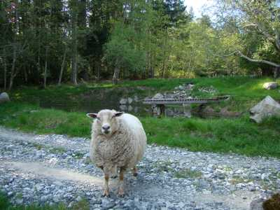 Sheep on Salt Spring Island